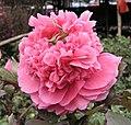 牡丹-皇冠型 Paeonia suffruticosa Crown-series -香港維園花市 Victoria Park Flower Market, Hong Kong- (9204833495).jpg