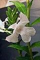 石斛蘭屬 Dendrobium parthenium -香港沙田洋蘭展 Shatin Orchid Show, Hong Kong- (31485668805).jpg