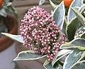 茵芋 Skimmia japonica Magic Marlot -香港公園 Hong Kong Park- (9190630245).jpg