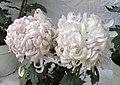 菊花-白雪蟹 Chrysanthemum morifolium 'White Snow Crab' -香港圓玄學院 Hong Kong Yuen Yuen Institute- (12009936025).jpg