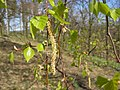 070407-Birke-Frucht.JPG