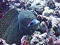 0921 moray eel Dive2 (37216154286).jpg