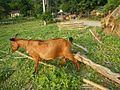 09409jfCattle goats grasslands Roads San Miguel, Bulacanfvf 09.jpg