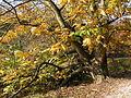 0 Pterocarya fraxinifolia - La Hulpe (1).JPG