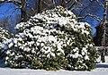 100-Jähriger Rhododendronbusch im Winter. 1531WI.jpg