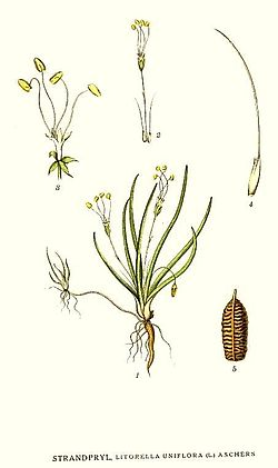 129 Littorella uniflora.jpg