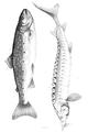 1844 BostonJournal NaturalHistory v4 illus5.png