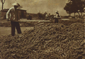 1952-10 1952年河北昌黎县种植小米.png