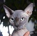 1 adult cat Sphynx. img 050.jpg