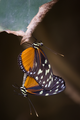 2. Heliconius hecale.png