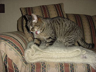 Cat communication - A mackerel tabby cat kneading a blanket. The whiskers are positioned forward, indicating happiness or curiosity in this context.