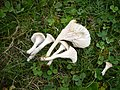 2009-09-19 Camarophyllus ochraceopallidus (P. D. Orton) Papetti 204574.jpg