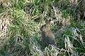 2010-04-17 (15) European rabbit, Wildkaninchen, Oryctolagus cuniculus.JPG