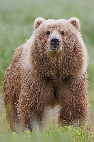 Bear - Brown bear in Alaska