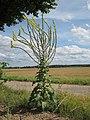 20120731Verbascum thapsus.jpg