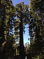 2013-09-20 09 48 48 Giant Sequoia in Grant Grove.JPG