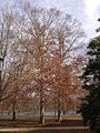 2014-12-30 12 14 01 American Beeches near Metzger Drive at the College of New Jersey in Ewing, New Jersey.JPG