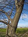 20140228Carpinus betulus3.jpg