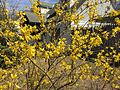 2015-04-13 11 38 33 Forsythia blooming along Terrace Boulevard in Ewing, New Jersey.jpg