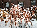 2015-11-02 10 32 17 Snow on a Cherry with autumn foliage along Brockway Road in Truckee, California.jpg