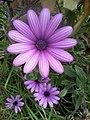 2016-05-18 12.18.15الزهرة البنفسجية الساحة المركزية بشرشال.jpg