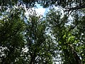 2016-07-20 14 32 57 View up towards the top of several Bald Cypress trees from the trail at the Battle Creek Cypress Swamp in Calvert County, Maryland.jpg