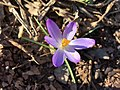 2018-02-20 15 51 41 A crocus blooming along Tranquility Court in the Franklin Farm section of Oak Hill, Fairfax County, Virginia.jpg