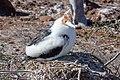 20180805-Great frigatebird (juvenile) at Seymour Norte-6 (9256).jpg