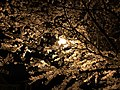 2020-03-25 01 34 10 A White Flowering Cherry tree at night with blossoms illuminated by a sodium-vapor street light along Ladybank Lane in the Chantilly Highlands section of Oak Hill, Fairfax County, Virginia.jpg