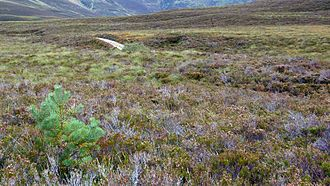 Abernethy Forest - regeneration in the southern forest