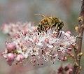 2Honey-Bee-Salt-Cedar.jpg