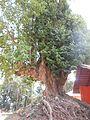 300 year old Magnolia champaca tree at Hoysala dinesty origin place.jpg