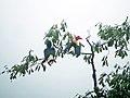3606 Writhed Hornbill, Mindanao.jpg