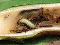 45.043 BF1517 Adaina microdactyla, larva (5025839471).jpg