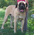 17 / American Mastiff