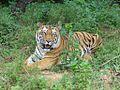 A Bengal tiger at Bannerghatta National Park, India.jpg