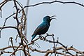 A Purple Sunbird Calling for its partner (49262493763).jpg