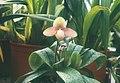 A and B Larsen orchids - Paphiopedilum primulinum x armeniacum alba 464-1.jpg