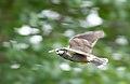 A bird in flight (7359714972).jpg