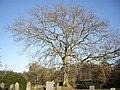 A churchyard tree - geograph.org.uk - 1744248.jpg
