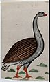 A goose. Watercolour drawing. Wellcome V0045180.jpg