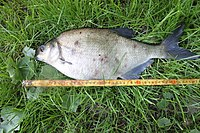 A large bream.JPG