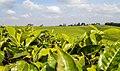 A large scale tea farm.jpg