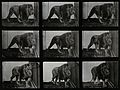 A lion prowling. Photogravure after Eadweard Muybridge, 1887 Wellcome V0048772.jpg