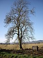 A lone tree on the Howe of Mearns - geograph.org.uk - 1614854.jpg