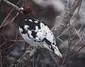 A ptarmigan mid-change from winter to summer plumage. (8ad3e352-c288-46dd-b282-a21a31becd43).jpg