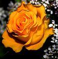 A rose for efatima! (6828751).jpg