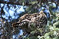 A spruce grouse in a spruce tree (3886555f-3cb5-4713-b95c-0956f612797b).jpg