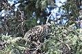 A spruce grouse in a spruce tree (bb790e64-6227-4c4a-9c12-5692078fc89f).jpg