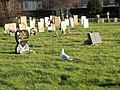 A winter visitor at Milton Cemetery - geograph.org.uk - 1070652.jpg